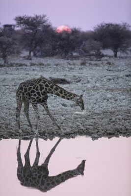 Carta da parati Giraffa al foro di acqua Okaukuejo.