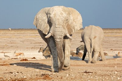 Carta da parati Grande elefante africano (Loxodonta africana) coperto di fango, Parco Nazionale Etosha, Namibia.
