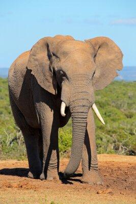 Carta da parati Grande elefante toro africano (Loxodonta africana), Addo Elephant National Park, Sud Africa.