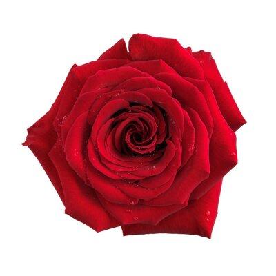 Carta da parati Grande fiore rosa rosso isolato
