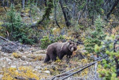 Carta da parati Grande orso bruno in cerca di ghiande