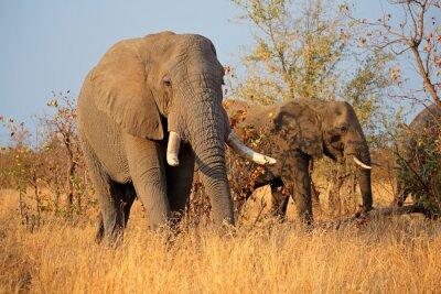 Carta da parati Grandi elefanti maschi africani (Loxodonta africana), Kruger National Park, Sud Africa.