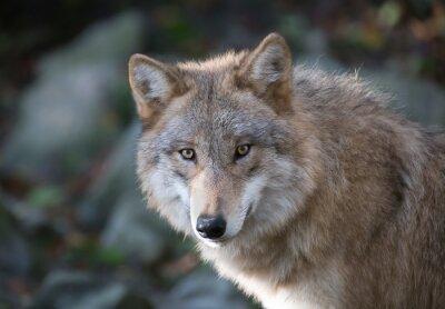 Carta da parati Grauer lupo ritratto 3