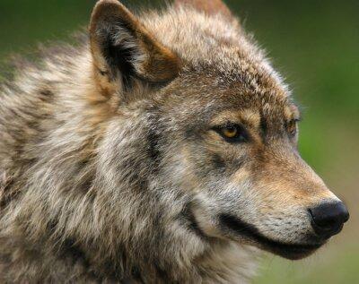 Carta da parati Grigio colpo di testa del lupo.