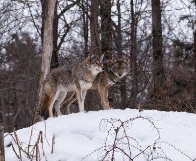 Carta da parati Grigio o grigio lupi