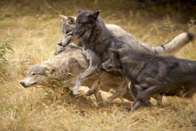 Carta da parati Grigio Wolf Pack at Play