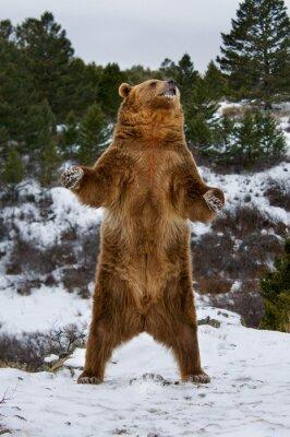 Carta da parati Grizzly Bear