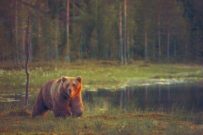 Carta da parati Grosso maschio camminare orso nella palude al tramonto