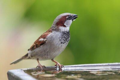Carta da parati House Sparrow (Passer domesticus)