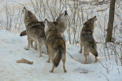 Carta da parati Howling lupi