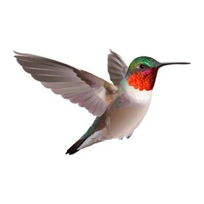 Carta da parati Hummingbird - Colubris Archiloco. Mano illustrazione vettoriale disegnato su sfondo bianco di un colibrì volante Rubino-troathed con piumaggio variopinto lucido.