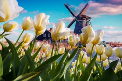 Carta da parati I famosi mulini a vento olandesi tra i fiori di tulipano bianco in fiore. Scena all'aperto soleggiato nei Paesi Bassi. Bellezza del fondo di concetto di campagna. Collage creativo