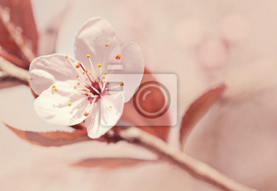 Carta Da Parati Fiori Di Ciliegio : I fiori di ciliegio carta da parati u carte da parati pesca