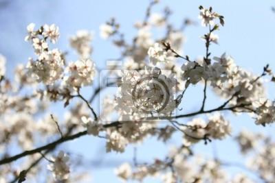 Carta Da Parati Fiori Di Ciliegio : I fiori di ciliegio kirschblüten carta da parati u carte da