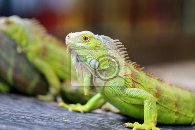 Carta da parati iguana lucertola verde