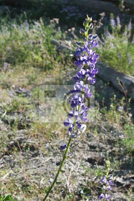 Carta da parati Il fiore sul sentiero John Muir.