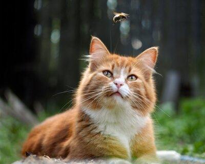 Carta da parati Il gatto sta guardando il volo del calabrone. Cat grande, rosso e soffice. Concettualmente - animali Attività ricreative all'aperto. Cat a caccia di insetti. Punture di insetti e allergie negli animal