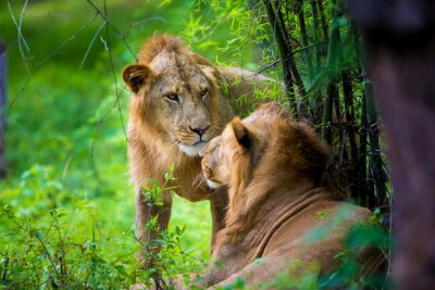 Carta da parati Il rarissimo Asiatic Lion in un parco nazionale in India. Questi tesori nazionali sono ora protetti, ma a causa della crescita urbana non saranno mai in grado di muoversi in India come in passato.