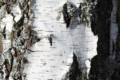 Carta da parati Il tronco di una betulla