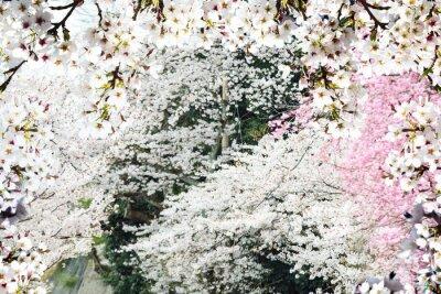 Carta da parati Immagine della bella seasnon sakura a Kyoto, Giappone