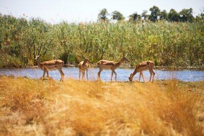 Carta da parati Impala, Aepyceros melampus, Bwabwata National Park, Namibia