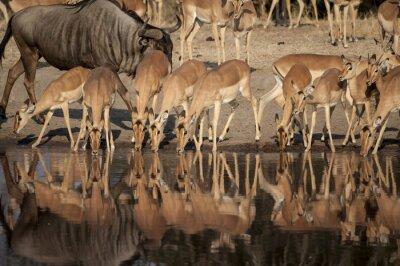 Carta da parati Impala (Aepyceros melampus)  del Timbavati Nature Reserve in Sud Africa