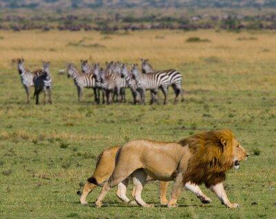 Carta da parati Incontro con il leone e leonessa nella savana. Parco Nazionale. Kenya. Tanzania. Masai Mara. Serengeti. Un ottimo esempio.