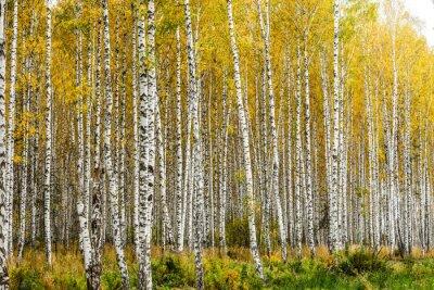 Carta da parati Inizio autunno boschetto di betulle