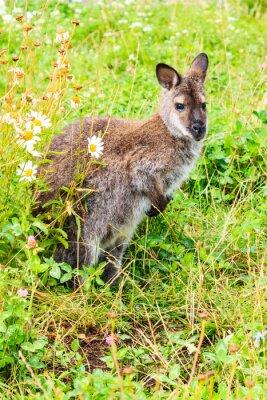 Carta da parati Kanguroo