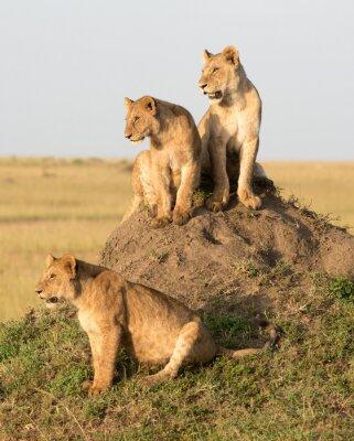 Carta da parati Kenya, Africa, Masai Mara riserva, leone femmina con i cuccioli.