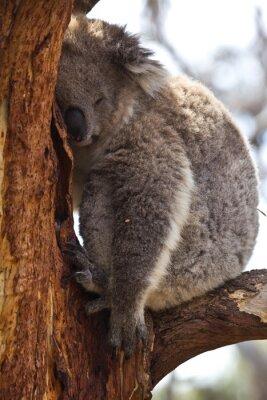 Carta da parati Koala dormire durante il giorno