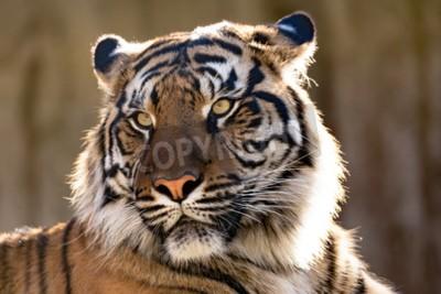 Carta da parati La tigre di Sumatra (Panthera tigris sumatrae) è una rara sottospecie di tigre che abita l'isola indonesiana di Sumatra
