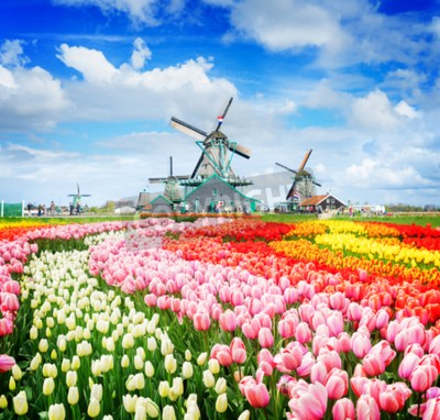 Carta da parati landscape with traditional Dutch windmills of Zaanse Schans and rows of tulips, Netherlands, retro toned