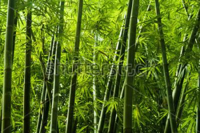 Carta da parati Lanscape dell'albero di bambù nella foresta pluviale tropicale, Malesia