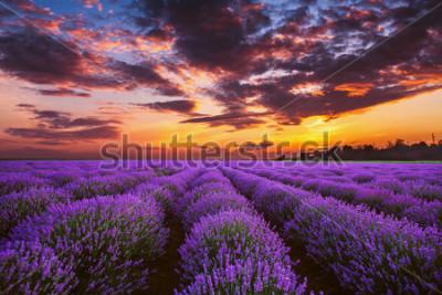Carta da parati Lavender flower blooming fields in endless rows. Sunset shot.