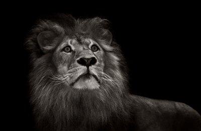 Carta da parati leone in bianco e nero