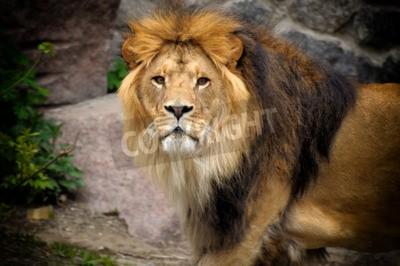 Carta da parati leone maschio guardando fuori in cima all'affioramento roccioso.