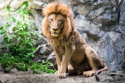 Carta da parati Leone maschio posa sulla roccia
