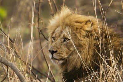 Carta da parati Leone nel Kruger National Park