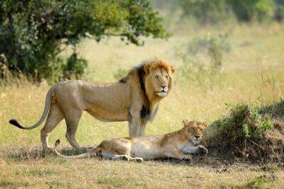 Carta da parati Leone nel parco nazionale del Kenya, Africa