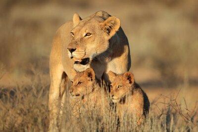 Carta da parati Leonessa con cuccioli giovane Leone (Panthera leo) nella luce del mattino, deserto del Kalahari, Sud Africa.