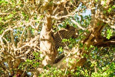 Carta da parati Leopard nascosto in un albero