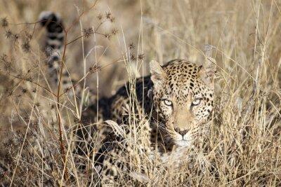 Carta da parati Leopard si muove attraverso il bushveld