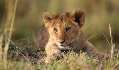Carta da parati Lion cub
