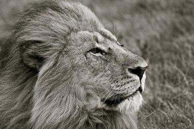 Carta da parati Lion guardando fuori sopra savana