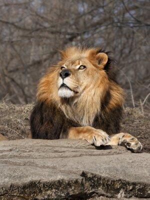Carta da parati Lion guardando il cielo