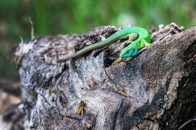 Carta da parati Lizard caccia di insetti