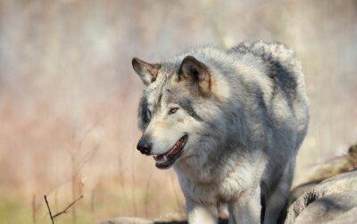 Carta da parati loup en automne sauvage
