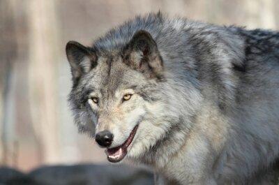 Carta da parati loup gris d amérique