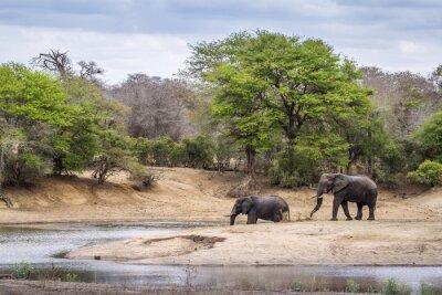 Carta da parati Loxodonta africana nel parco nazionale Kruger